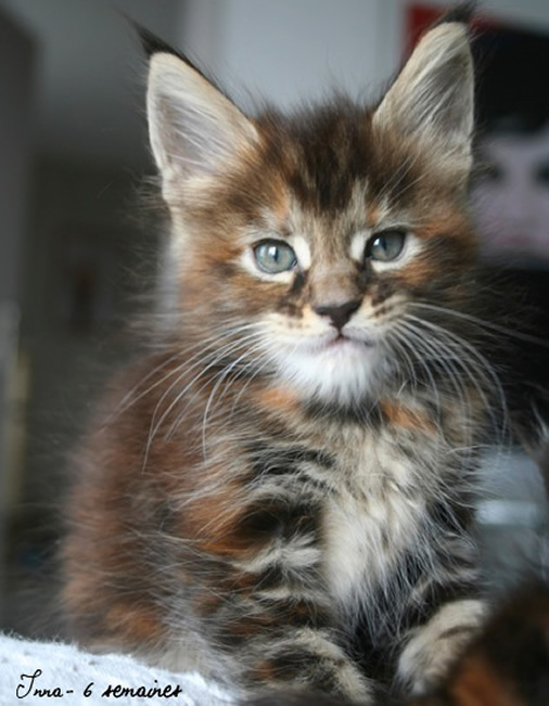 chat maine coon a vendre